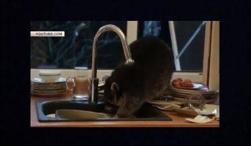 Енот моет посуду на кухне: видео для хорошего настроения