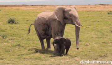 Спасение слоненка и реакция его мамы
