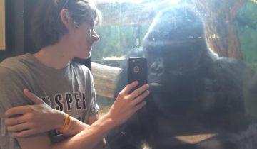 Горилле показывают фото других горилл: интересная реакция