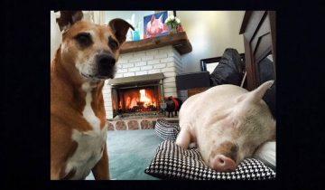 Эта пара завела в доме карликовую свинку. Но чем это закончилось?..