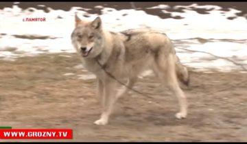 Житель Чечни выкормил и приручил дикого волка