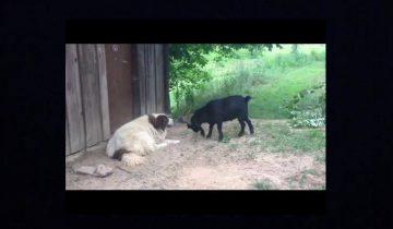 Нервный козел и невозмутимый пес: кто кого?
