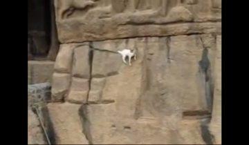 Горные козлы-скалолазы: очень ловкие и отважные животные