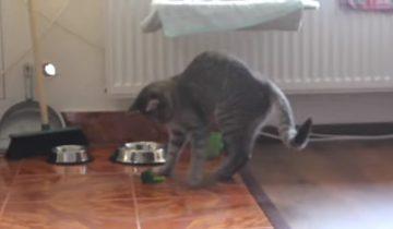 Кот нашел себе необычную игрушку: даже с брокколи бывает весело!