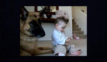 Ребенок отнял еду у овчарки: посмотрите на реакцию собаки!