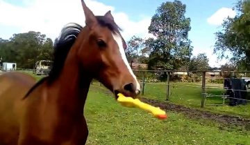 Конь играет с резиновой игрушкой: веселое зрелище