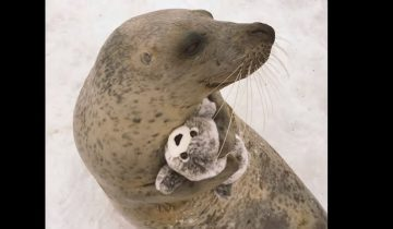 Тюленю вручили в подарок его миниатюрную копию: смотрите, как он радуется!