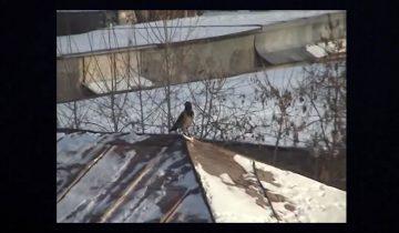 Ворона устроила покатушки на крыше: такого вы еще не видели!