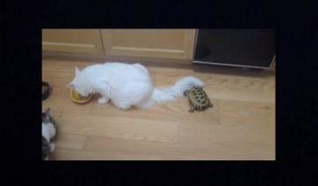 Вот так тихоня! Черепаха гоняет котов