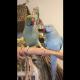 Попугай целует братика и признается ему в любви