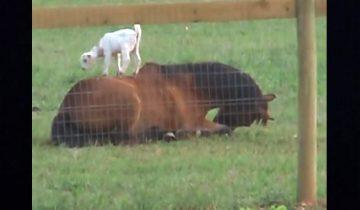 Козленок оседлал коня: мал, да удал!