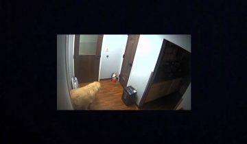 Неимоверный побег пса из больницы стал хитом интернета
