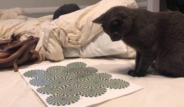 Кот и оптическая иллюзия: хит интернета