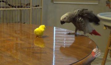 Битва попугая и пасхального игрушечного цыпленка