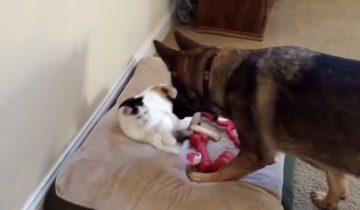 Овчарка застукала кошку на своей кровати. Что ожидает наглую захватчицу?