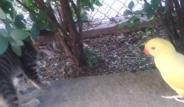 Попугай хочет подружиться с котенком