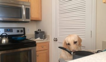 Хитрый лабрадор осторожно ворует еду