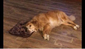 Женщина случайно купила крошечную кровать для большой собаки