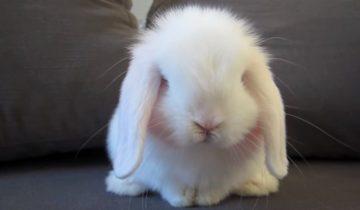 Умница-кролик старательно умывается