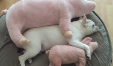 Французский бульдог вздремнул с любимыми игрушечными свинками