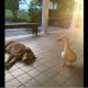 Пес очень тосковал по умершему другу, пока не появилась эта утка