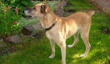 В руках бессердечных хозяев красавица-собака превратилась в скелет