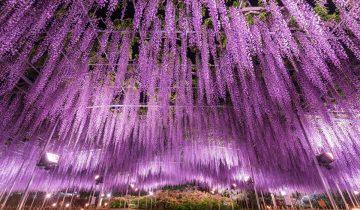 Фестиваль цветущей глицинии в Японии (10 фотографий)