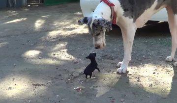 Крошечный щенок встретился с огромными псами