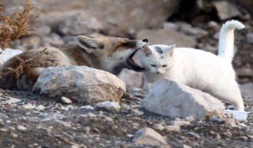 Лиса хищно разинула пасть над головой бездомной кошки…