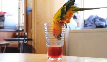Попугай отчаянно пытается напиться сока
