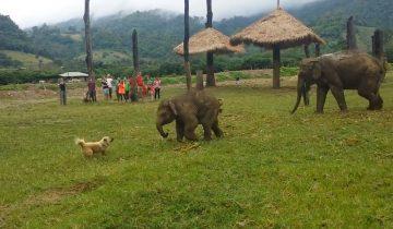 Милый слоненок смело гоняет собаку