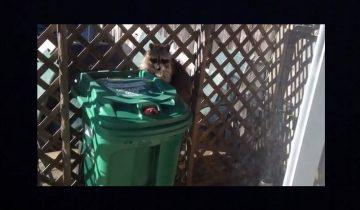 Хитрый енот стащил мусорный бак