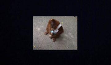 Маленького орангутана угостили молочком: потешная реакция