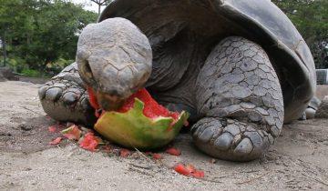 Черепаха не может оторваться от арбуза