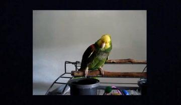 Попугай имитирует детский плач: невероятно достоверно!