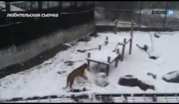 Тигрица научилась лепить снеговика: любительское видео из зоопарка