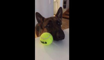 Овчарка просит, чтобы хозяин с ней поиграл в мяч