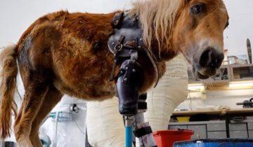 Встречайте Энджелу Мэри — пони с протезом