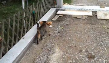 Кот сходил к соседям, чтобы одолжить плюшевую игрушку