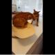Друг в беде не бросит: кот спасает товарища от ветеринара