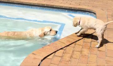 Золотистый ретривер учит щенка плавать