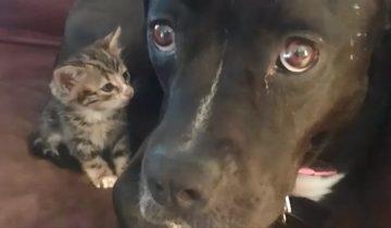 Питбуль полюбил котенка, как родного щенка