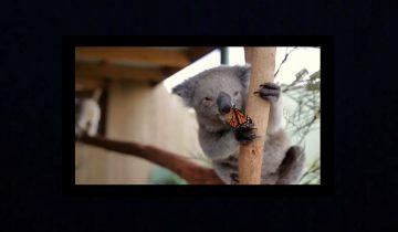 Бабочка и коала: милая парочка позировала перед камерой