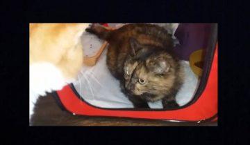 Кот Борис познакомился с новой обитательницей приюта