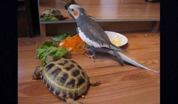 Попугай жалуется своему отражению в зеркале на черепаху