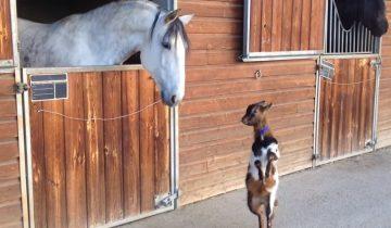 Козленок «танцует» перед взрослой лошадью