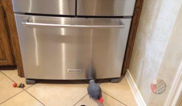 Попугай проводит расследование и берется за уничтожение холодильника