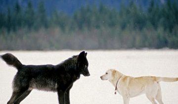 Встреча волка и домашней собаки перевернула представление о хищнике