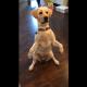 Собака выпрашивает еду: ну очень умилительно