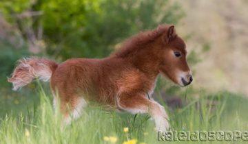 Так вот ты какая — самая маленькая лошадка в мире